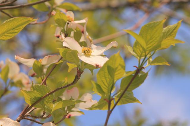 Flowering Dogwood © Liz Froment