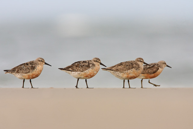 Red Knots © Photographer Shawn Carey