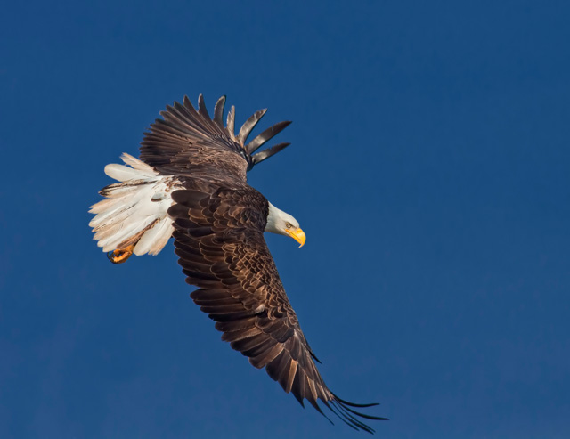 Bald Eagle in Flight © Ronald Grant