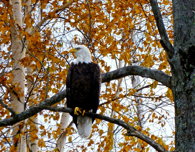 Bald Eagle © Sue Purdy