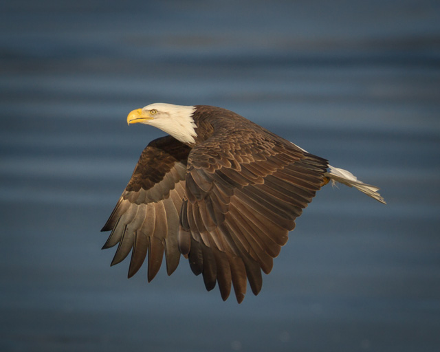 Bald Eagle in Flight © Ramkumar Subramanian