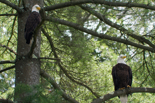 Bald Eagles © Nancy Hebert