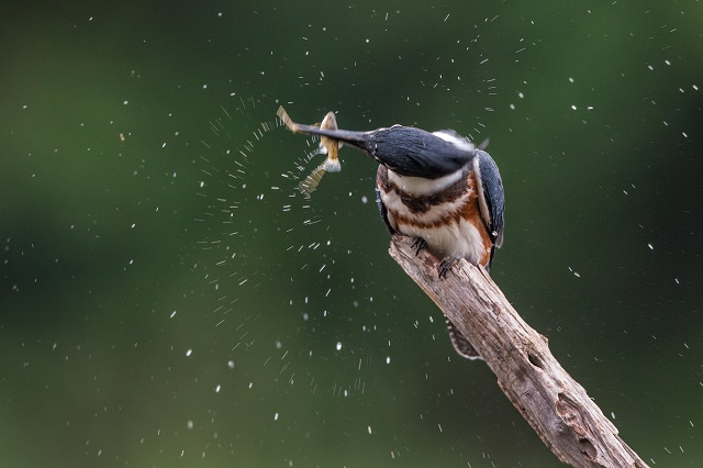 Belted Kingfisher © Christopher Ciccone