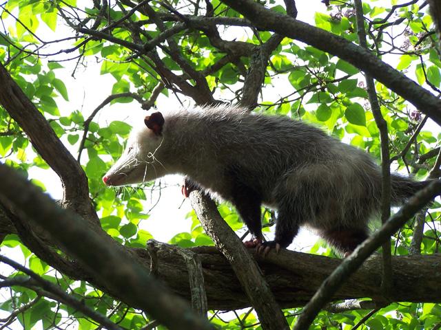 Virginia Opossum © Simeon Wood