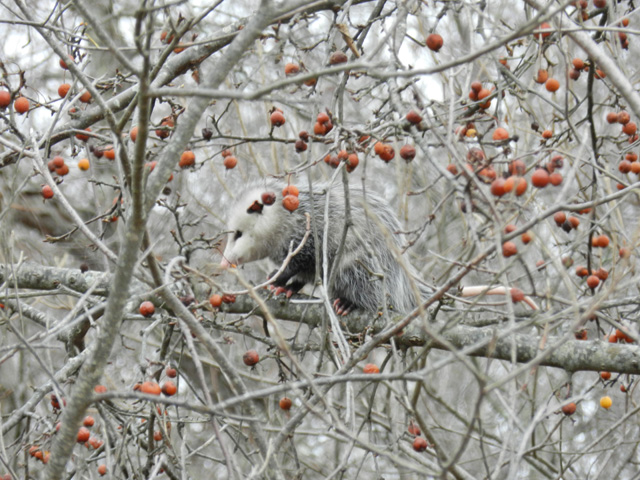 Virginia Opossum © Laurene Cogswell