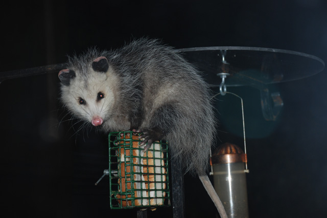 Virginia Opossum © Paul Silvestri