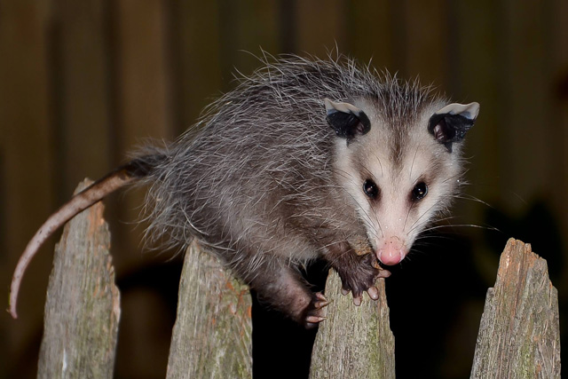 Virginia Opossum © Chris Lang