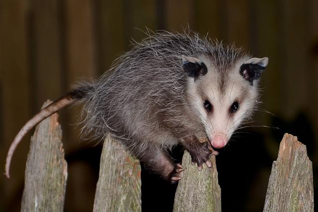 Virginia Opossum © Chris Lang
