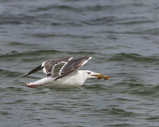 Great Black-backed Gull © Mike Duffy