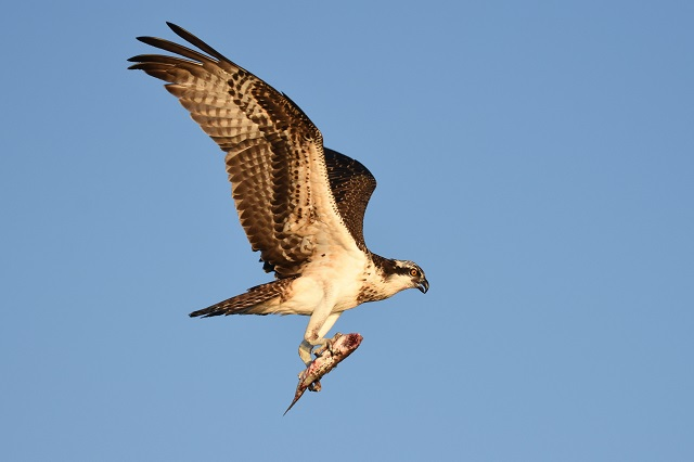 Osprey © Richard Cuzner