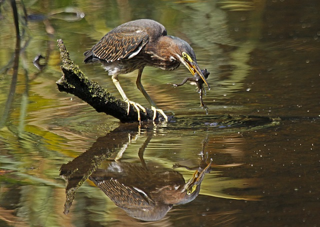 Green Heron © John Harrison