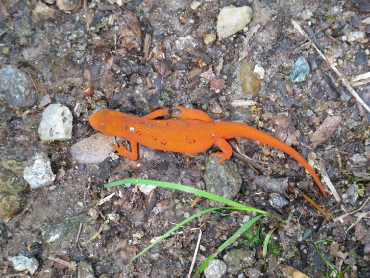 Eastern Newt/Red Eft © Patricia Wolfe