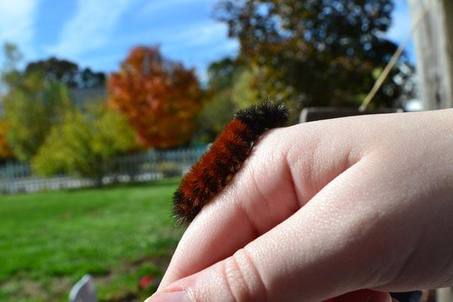 """Isabella Tiger Moth Caterpillar (a.k.a. """"Wooly Bear"""") © Callie Bucchino"""