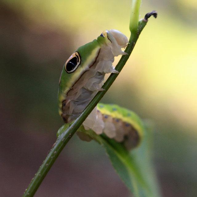 Spicebush Swallowtail Caterpillar © Brendan Cramphorn