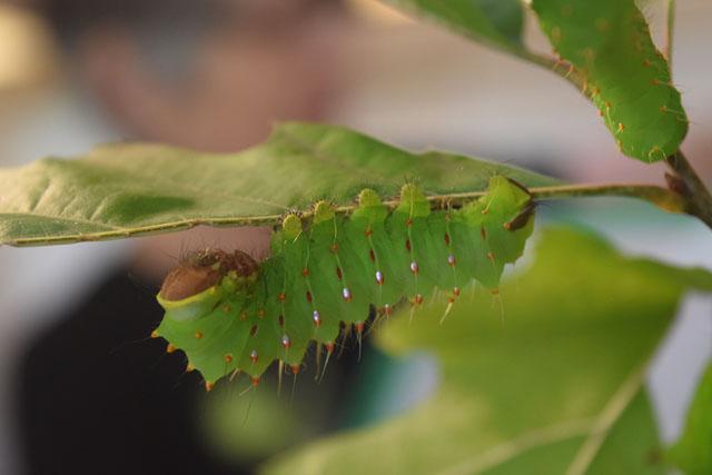 Polyphemus Moth Caterpillar © Ingrid Moncada