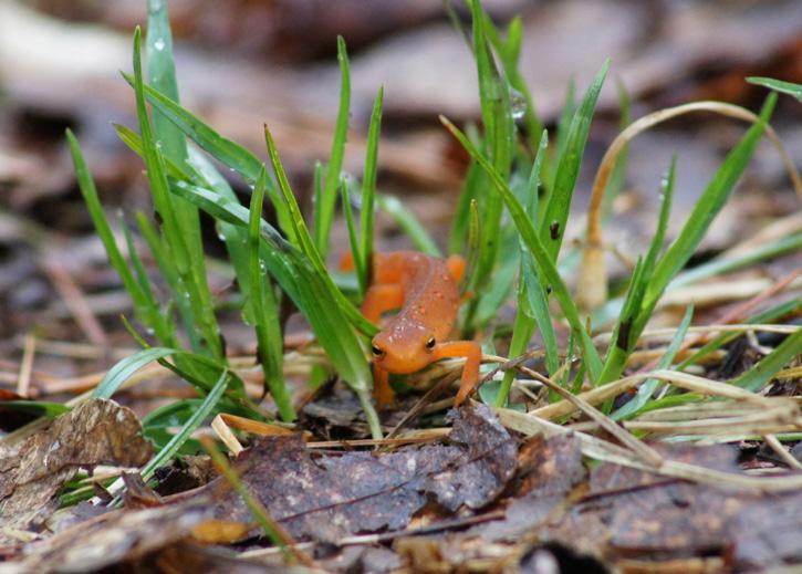 Eastern Newt/Red Eft © Dawn Puliafico