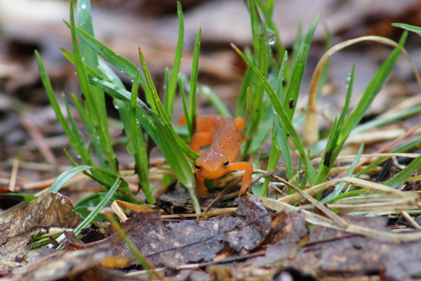 Red Eft (Eastern Newt) © Dawn Puliafico