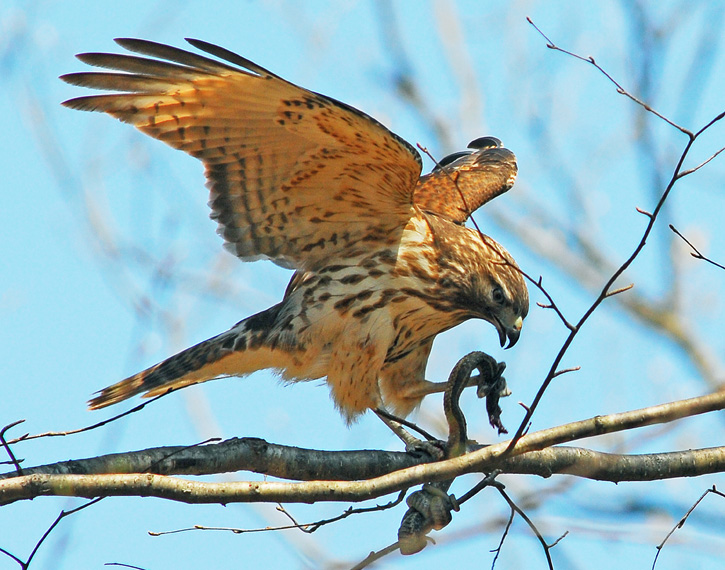 Red-shouldered Hawk © Richard Alvarnaz