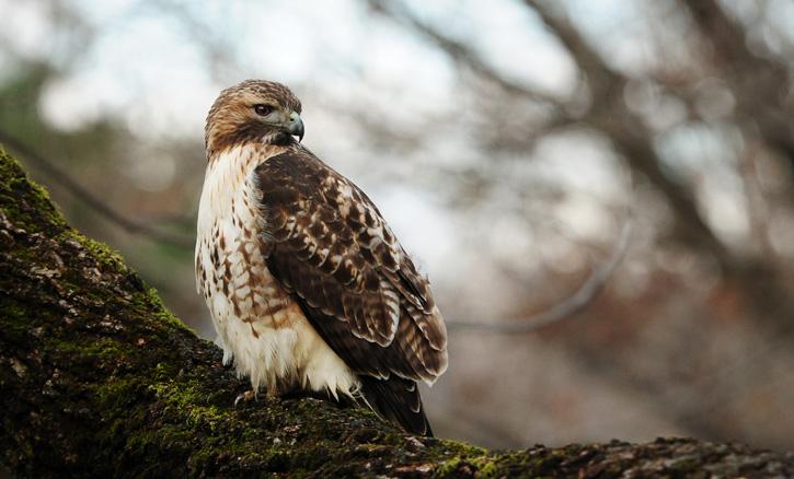 Red-tailed Hawk © Nathan Goshgarian