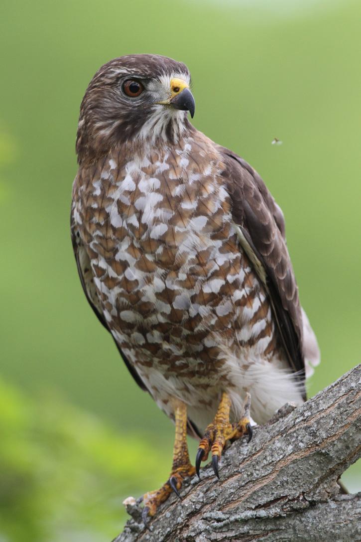 Broad-winged Hawk © Joseph Cavanaugh