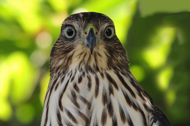 Cooper's Hawk © Mary Anne Doyle
