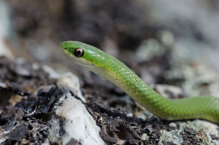 Smooth green snake © Patrick Randall
