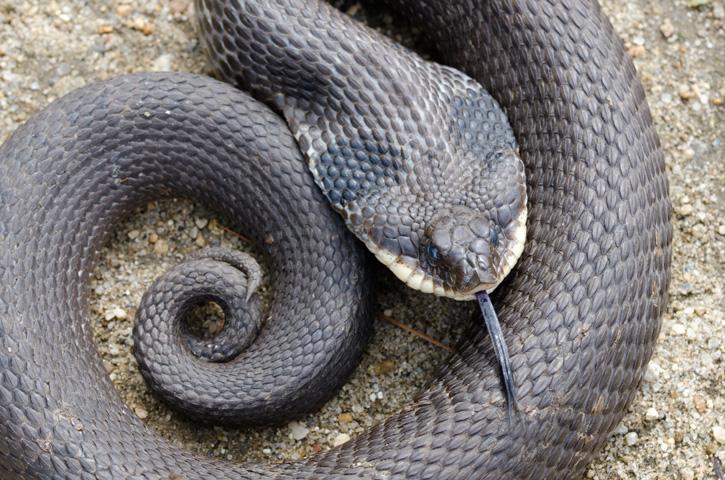 Eastern hognose snake © Patrick Randall