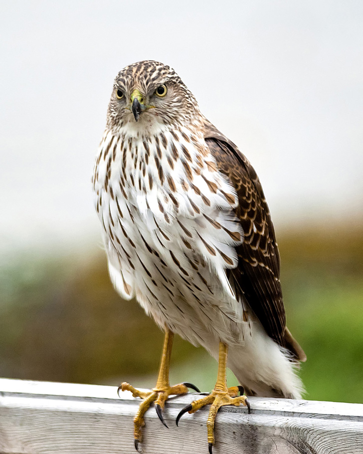 Cooper's Hawk © Lee Fortier