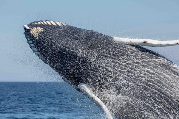 Humpback whale c Sherri Vanden Akker