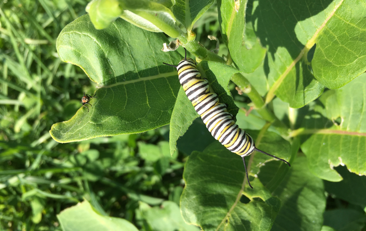 Monarch caterpillar at Conway Hills