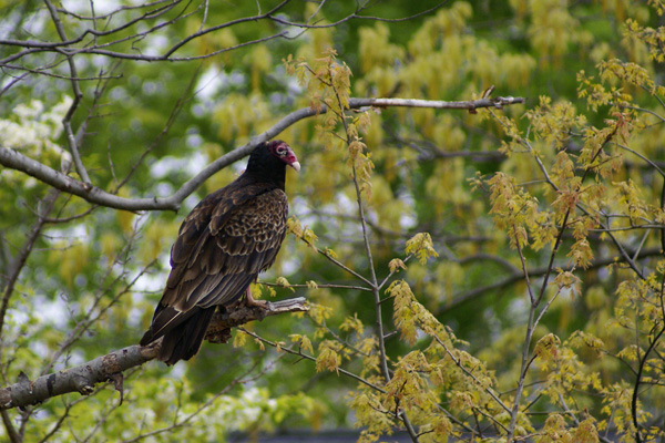 Turkey Vulture © Phyllis Tarascio