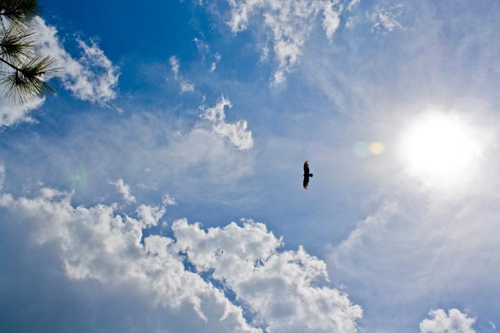 Soaring Turkey Vulture © Sherrelle Guyette