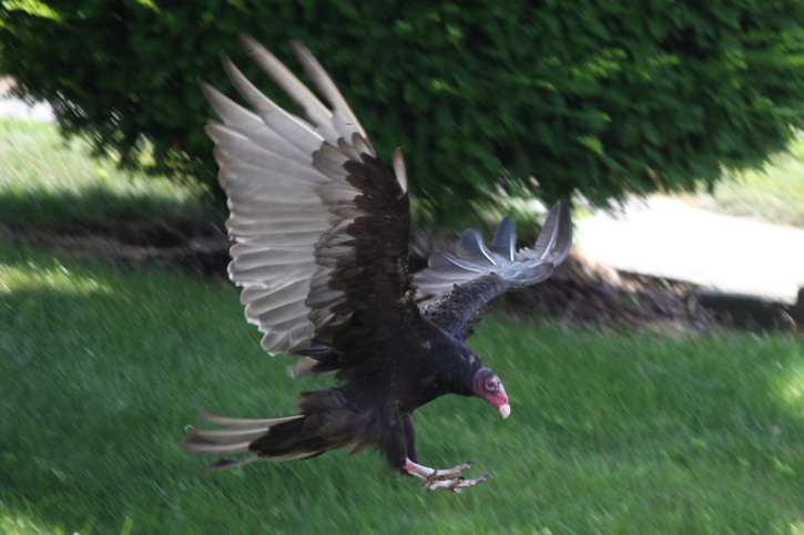 Turkey Vulture © Christine Young