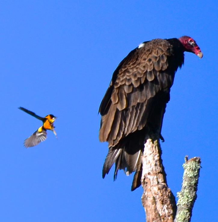 Turkey Vulture © Patrick Waggett