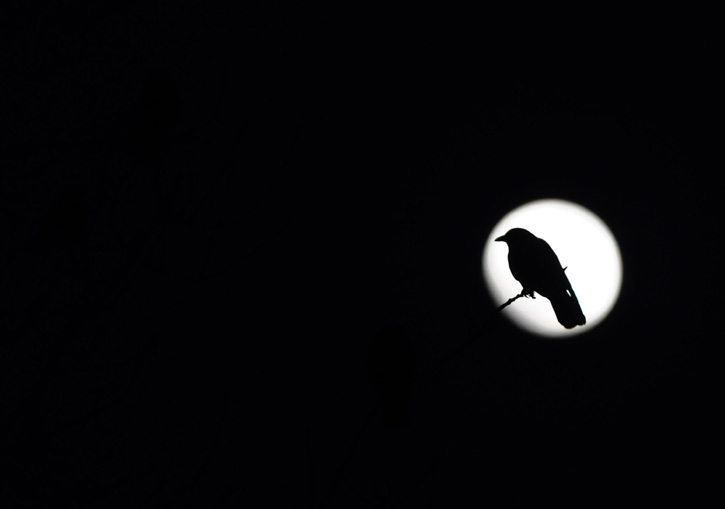 Bird silhouetted against the moon © Greg Saulmon