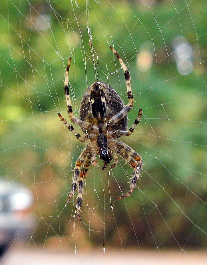 Cross Orbweaver Spider © Jack Cotter