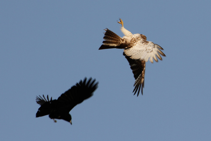 A crow and a red-tailed hawk face off in mid-air © Jim Higgins