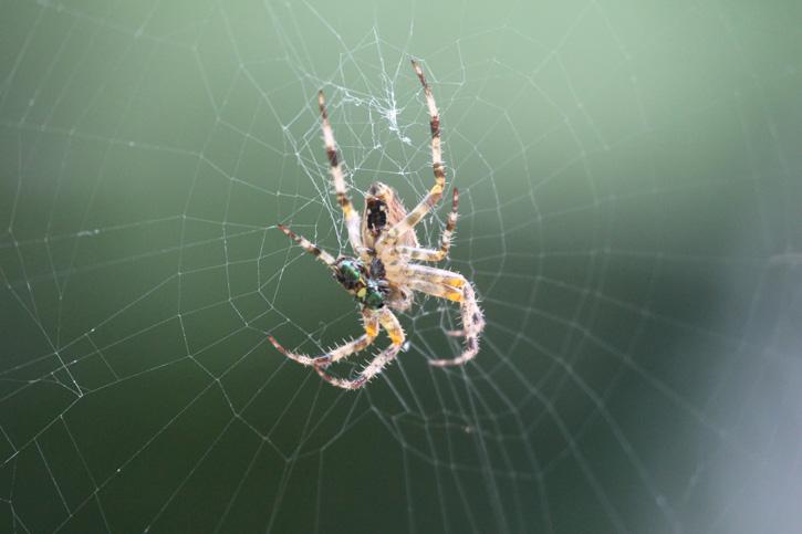 Cross Orbweaver Spider © Brett Melican