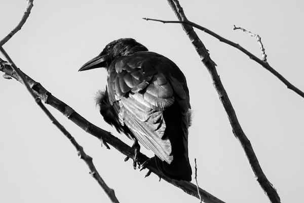 Crow © Steve DiGiandomenico