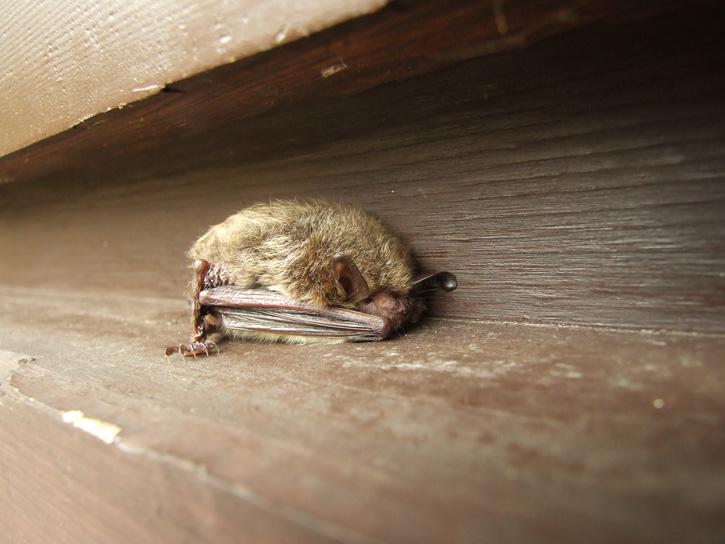 Bat © Justen Walker