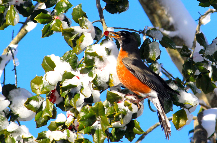 American Robin in an American Holly © Megan O'Leary