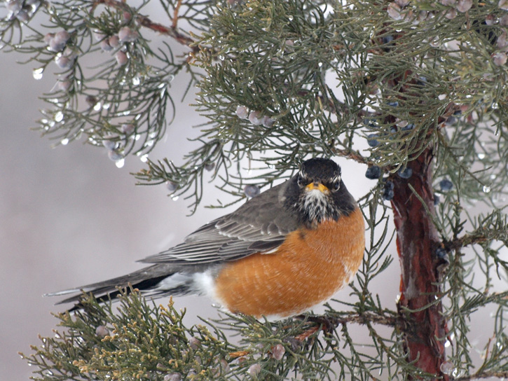 American Robin © Jane Parker