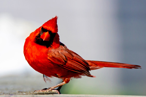 Male Northern Cardinal © Judith Keneman