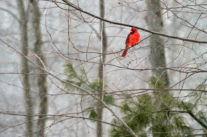 Male Northern Cardinal © Nathan Butler