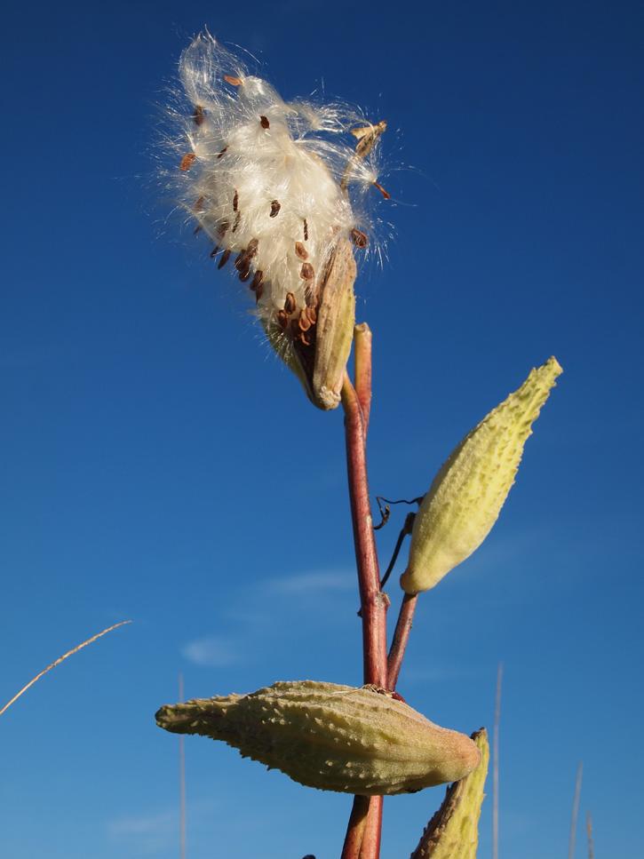 Milkweed © Ruby Sarkar