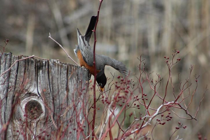 American robin eating berries © Elizabeth Fabiano