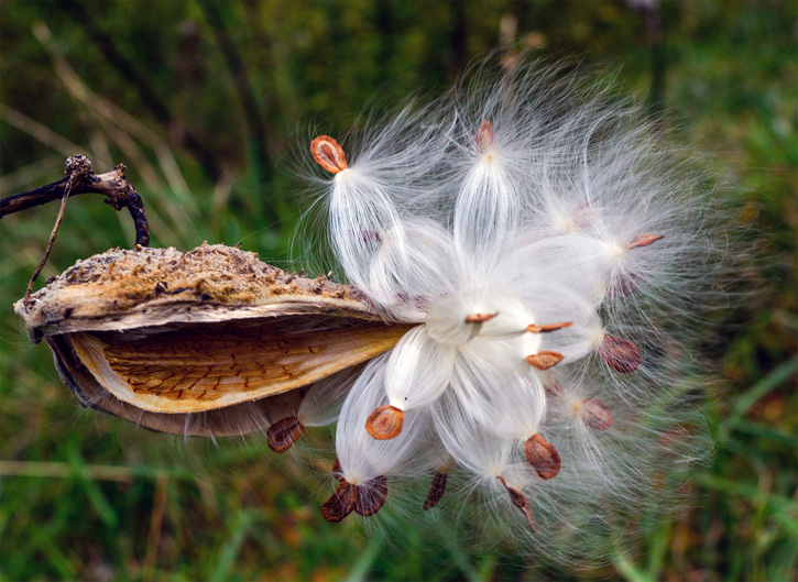 Milkweed © Patricia LaHaie