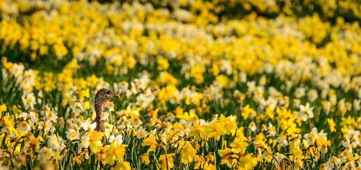 Wild turkey in a field of daffodils © Kathryn Dannay