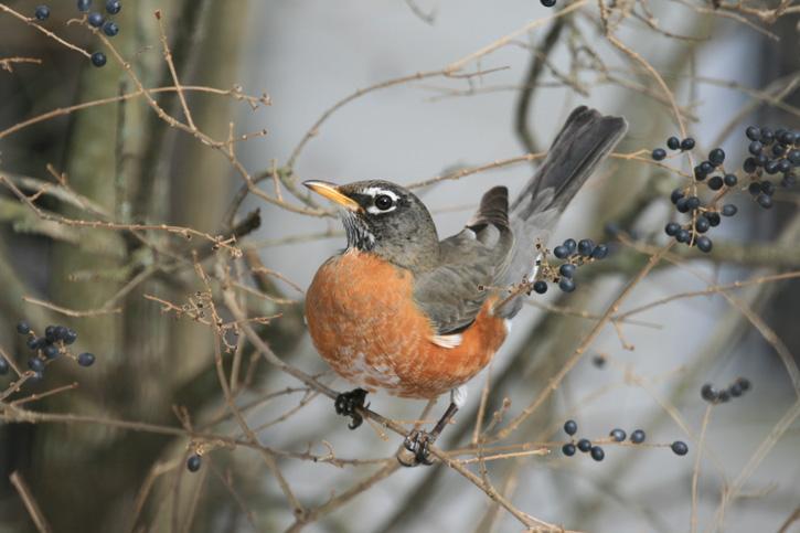 American Robin © Richard Antinarelli