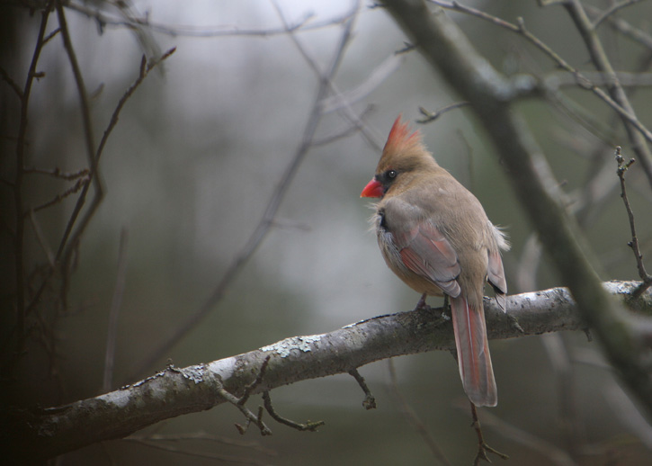 Female Northern Cardinal © Debbie Dineen